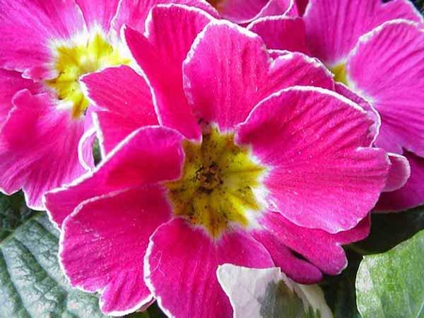 علاج الجدة: تسريب زهرة الربيع يخفف السعال الدهني