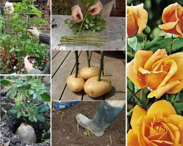 استخدم البطاطس لزراعة الورود