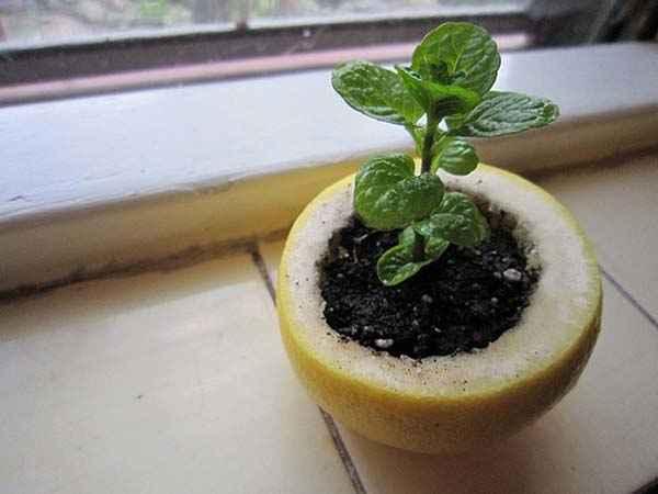 استخدم نصف ليمونة لزراعة الشتلات
