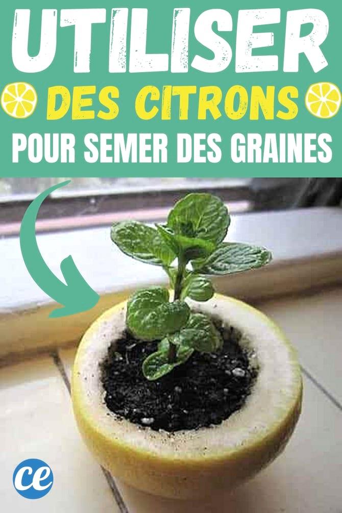 الليمون الذي يستخدم كوعاء لزرع البذور