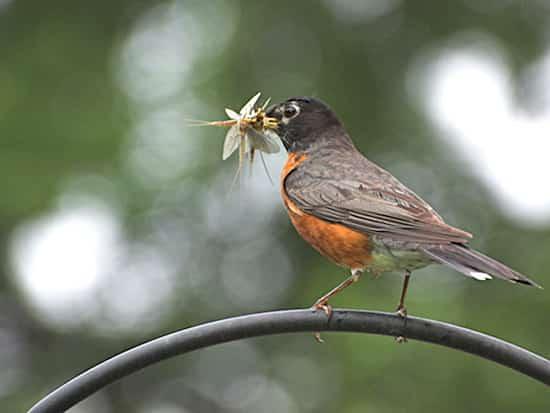 الطيور النافعة الحديقة تأكل الحشرات