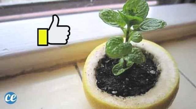 وعاء شتلة للبذور مصنوع من قشر الليمون