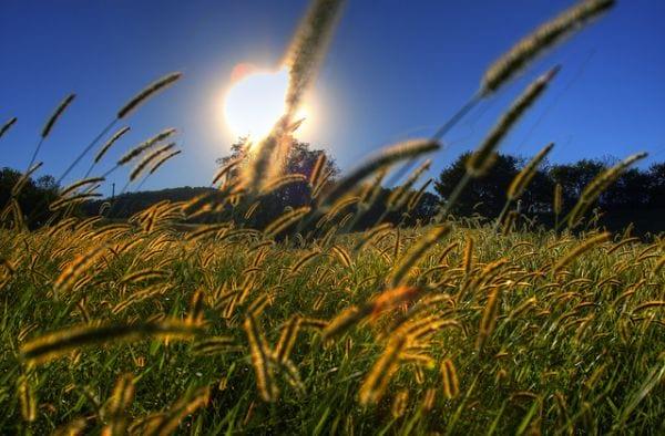 شمس جميلة على حقول حبوب اللقاح