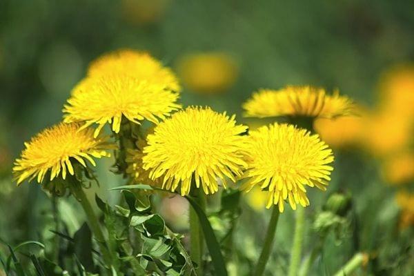 زهور الهندباء الصفراء