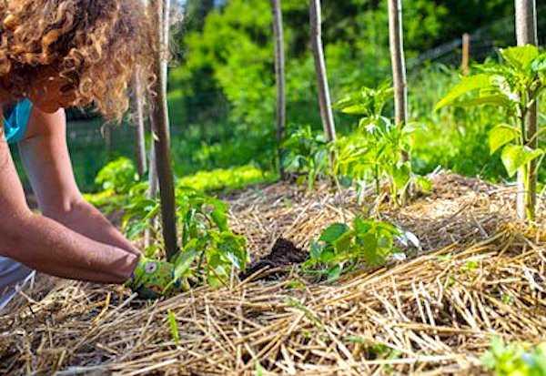 نشارة التربة من الأسِرَّة المرتفعة ، يساعد على تقليل وقت إزالة الأعشاب الضارة بشكل كبير.