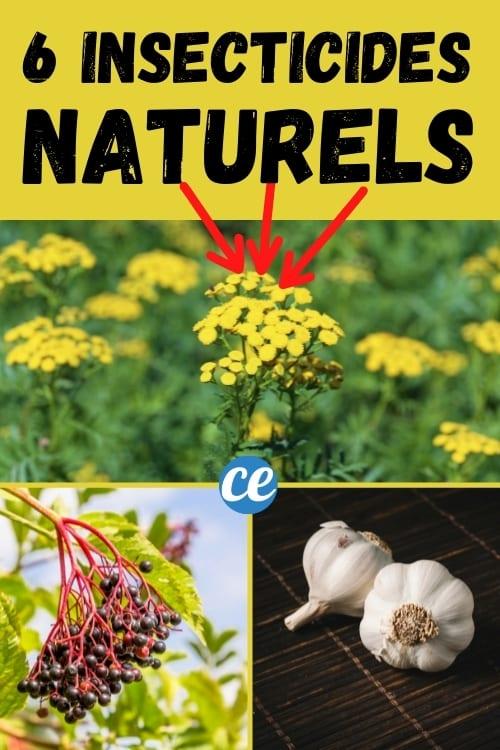6 نبات مغلي للتخلص من حشرات المن بشكل طبيعي