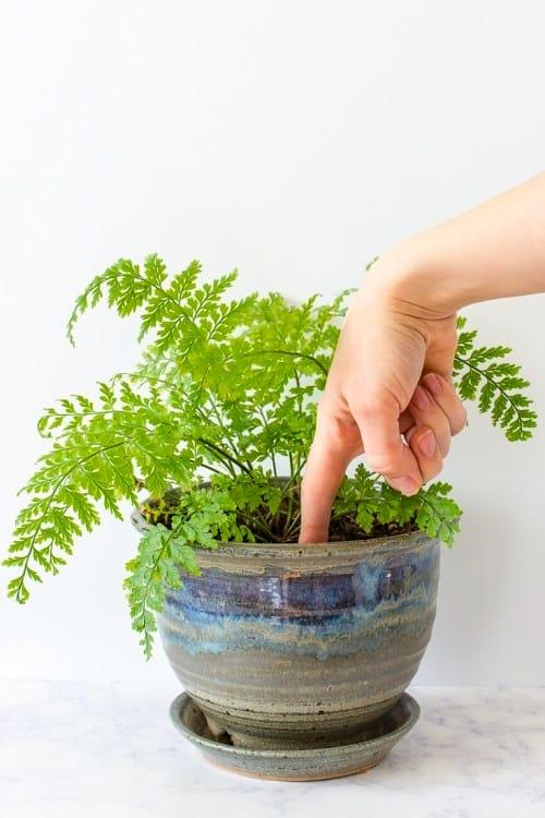 عندما تكون في شك ، فإن الاختبار المؤكد لوقت سقي نباتاتك هو لمس الأرض بإصبعك!