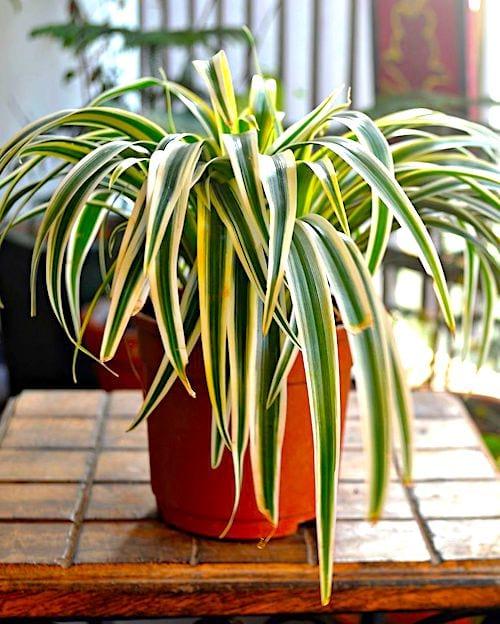 كم مرة يجب أن نسقي نبات العنكبوت؟  اتبع دليل الري السهل.