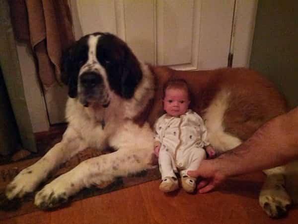 طفل صغير يجلس أمام كلبه الكبير القديس برنارد