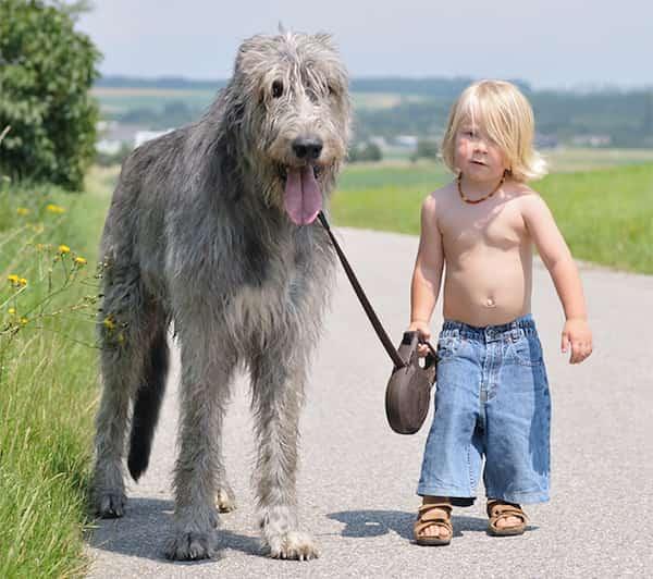 طفل صغير يمشي مع كلبه الكبير