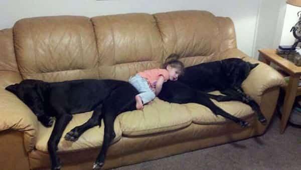 فتاة صغيرة تأخذ قيلولة مع كلبين كبيرين على الأريكة
